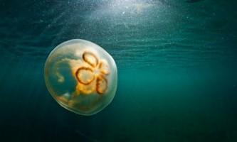 Медузи виявилися кращими плавцями