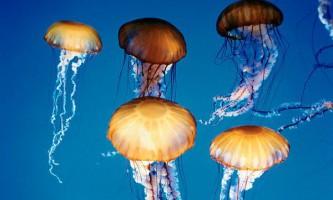 Жадібність медуз воістину виняткова