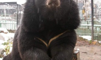 Ведмідь гімалайський - гірський побратим ведмежого сімейства
