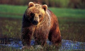 Ведмідь грізлі. Фото і відео північноамериканського велетня