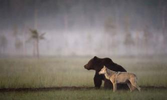 Ведмідь і вовк - нерозлучні друзі