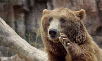 Ведмідь прийшов голосувати на вибори губернатора ленінградської області