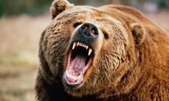 Ведмідь проїхав 8 кілометрів на даху сміттєвоза