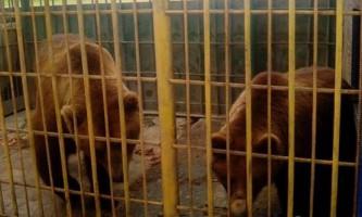 Ведмідь, який проживав біля кафе в томську, відкусив руку жінці