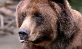 Ведмідь з синьою головою був знятий на відео канадським фотографом