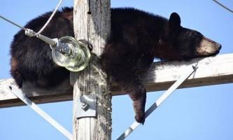Ведмідь задрімав на електроопори, після зустрічі з собаками
