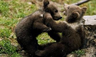 Ведмеді готуються до зими, відбираючи картоплю у людей