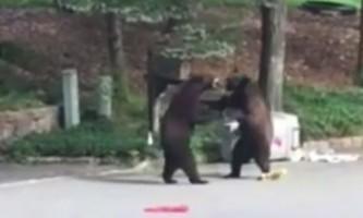 Ведмеді побилися посеред вулиці в сша