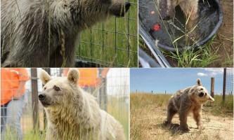 Ведмедиця 30 років чекала порятунку