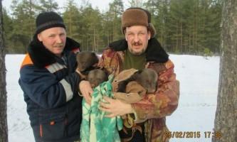 Ведмедиця, налякана звалився в барліг лісником, залишила йому трьох ведмежат