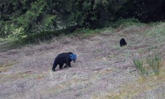Ведмедиця з синьою головою здивувала інтернет-користувачів