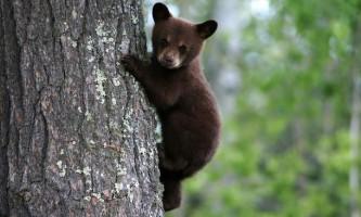 Ведмедика з новою москви можуть повернути в природне місце існування