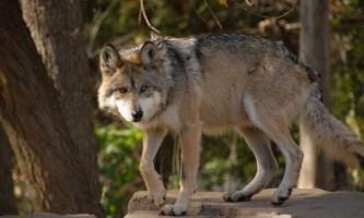 Мексиканський вовк - повністю знищений підвид