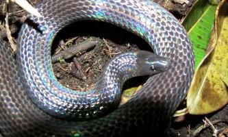 Мексиканський земляний пітон або двоколірна змія (loxocemus bicolor)