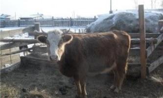 Метод оброблення корови
