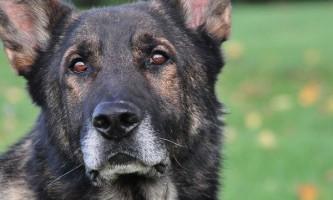 Методика тренування нюху у поліцейських собак