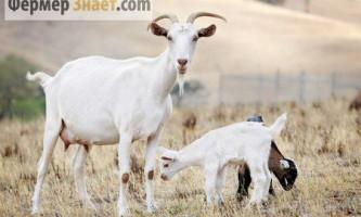 Методи визначення тільності кози