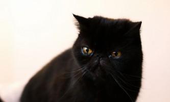 Мікоплазмоз у кішок - основні симптоми і способи лікування