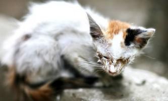 Мікроспорія у кішок: симптоми і способи лікування