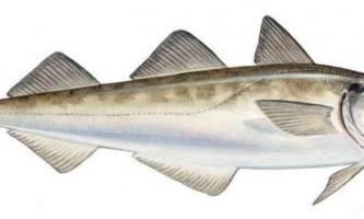 Минтай - морська риба