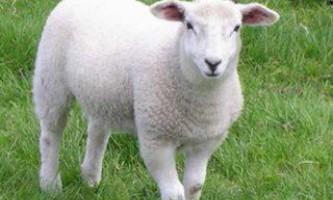 М`ясна продуктивність овець.