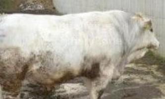 М`ясна продуктивність сільськогосподарських тварин