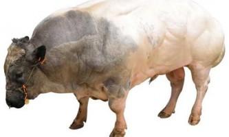 М`ясні породи корів