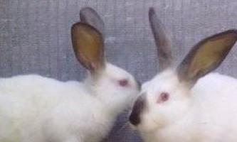 М`ясні породи кроликів