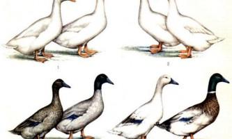 М`ясні качки - опис порід