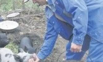 М`ясні в`єтнамські свині