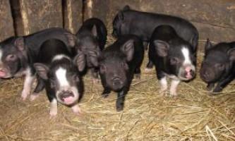 М`ясо-сальні свині: опис характеристик миргородської породи