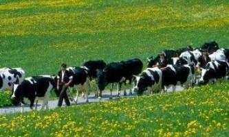 Різноманіття в породах молочних корів