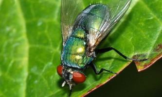 Модифіковані личинки мух прискорять загоєння ран у людини