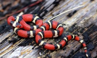 Молочна змія - улюбленець террариумистов