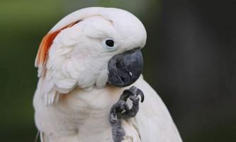 Молуккській какаду, він же розовохохлий або краснохохлий какаду