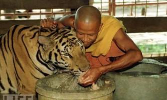 Ченці таїланду і тигри