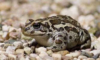 Монгольська жаба або жаба рейду