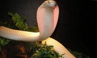 Моноклевая кобра. Зміст змій-убивць
