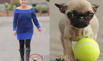 Мопс по кличці грейсі претендує на місце найменшої собаки у світі