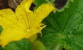 Морфологічні та біологічні особливості огірка