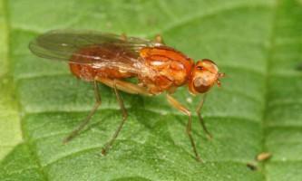 Морквяна муха - найлютіший ворог моркви