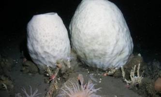Морська губка-вулкан: підводний старець з тисячолітньою історією