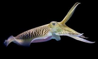 Морська каракатиця