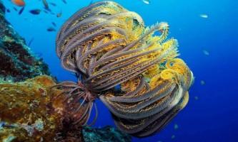 Морська лілія. Фото тваринного морська лілія