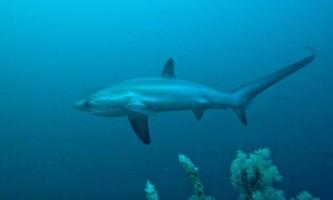Морська лисиця: не звір, а риба