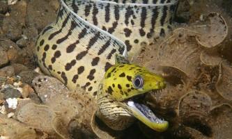Морська риба мурена