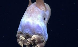 Морські біологи виявили рідкісний вид вухатого восьминога