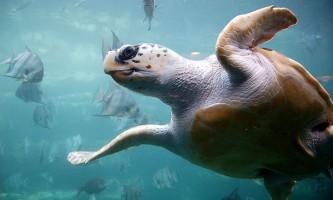 Морські черепахи відчувають силу і напрям магнітного поля землі