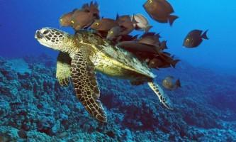 Морські черепахи створюють кладки, орієнтуючись по магнітному полю землі