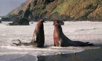 Морські гіганти вийшли на сушу, щоб продовжити рід